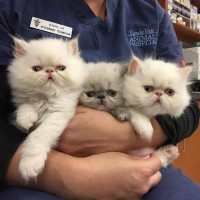 7 week old Persian kittens