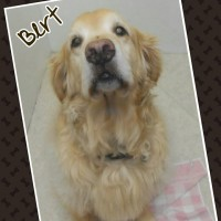 Bert - the sweetest Golden Retriever on Earth!