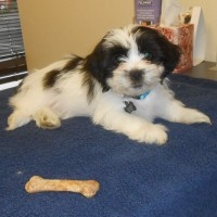 Finley the Shih Tzu puppy