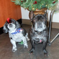 Gizmo and Bella have their hair done and are ready for the holidays!