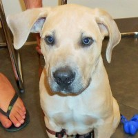 Murphy is a handsome Boerboel puppy