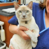 Oliver - a Tonkinese kitty