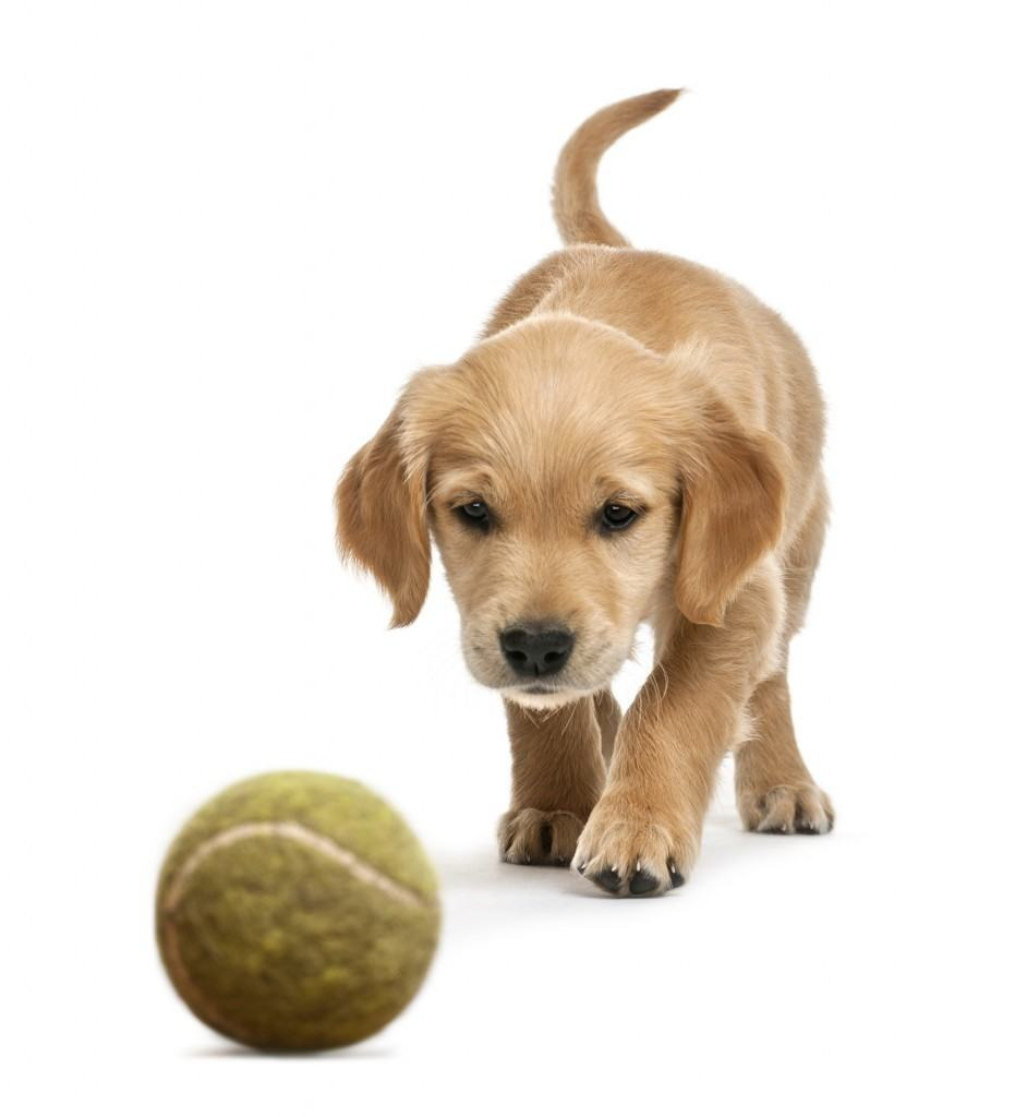 bigstock-Golden-retriever-puppy--week-39470665